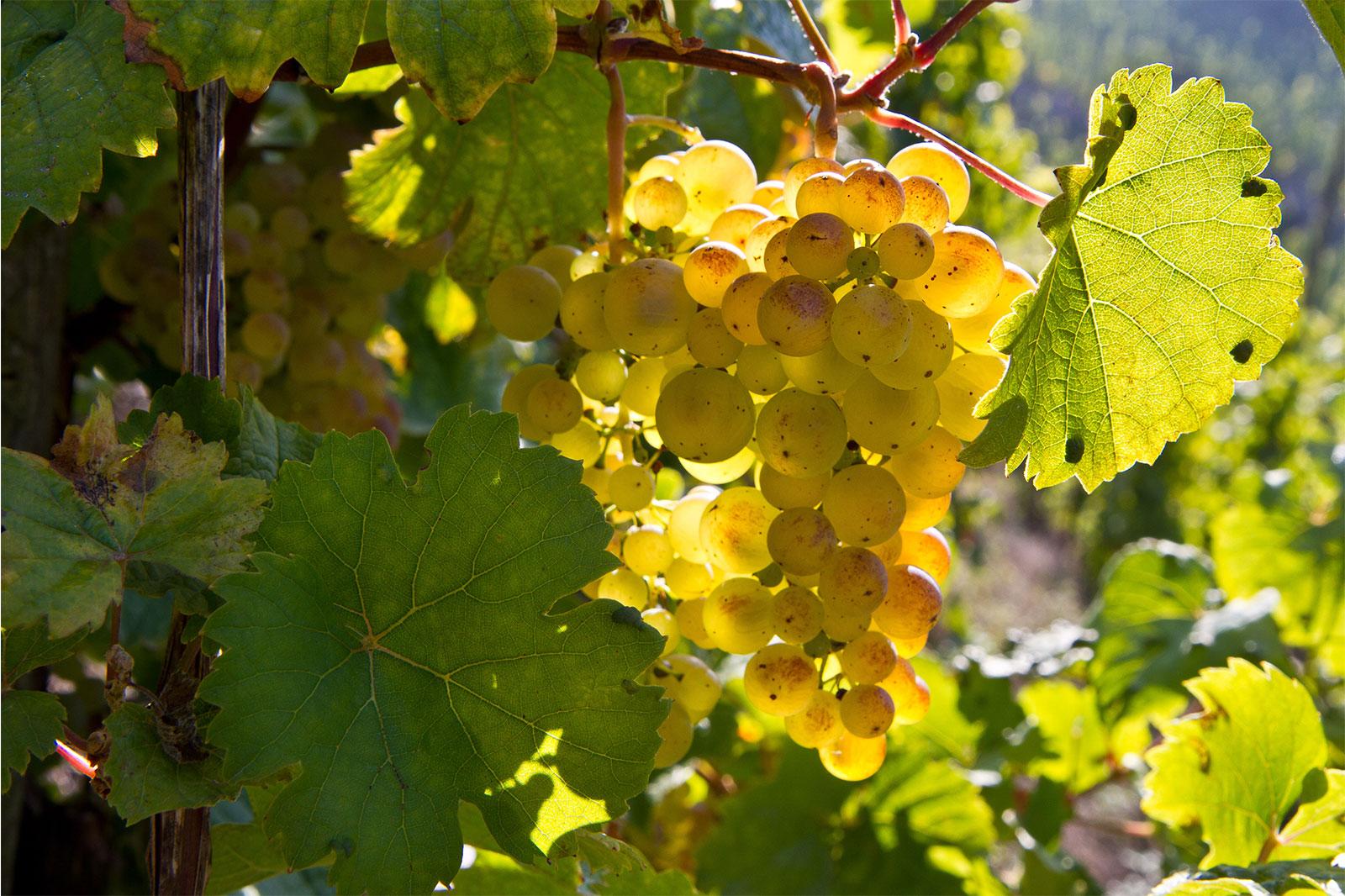 Weintraube - Weingut Anton Zimmermann